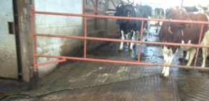 Scabbling machine applications cows